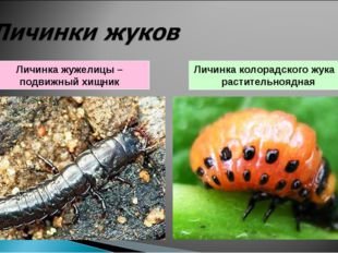 Личинка жужелицы – подвижный хищник Личинка колорадского жука – растительнояд