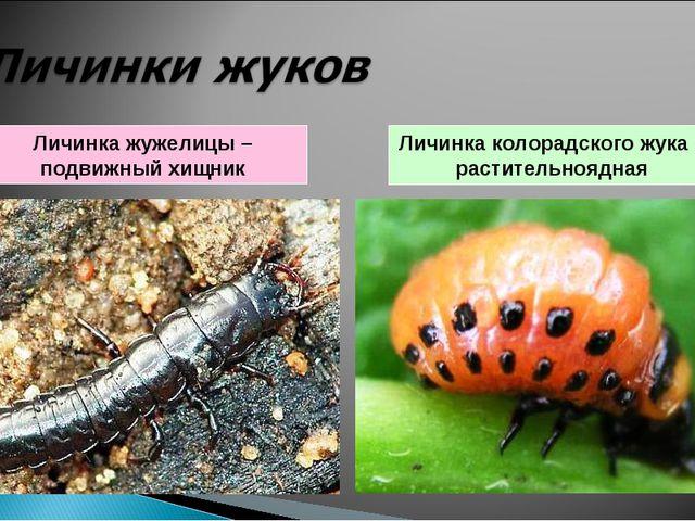 Личинка жужелицы – подвижный хищник Личинка колорадского жука – растительнояд...
