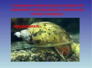 В аквариуме живут разные улитки. Их называют «Мусорщиками», так как они чистя