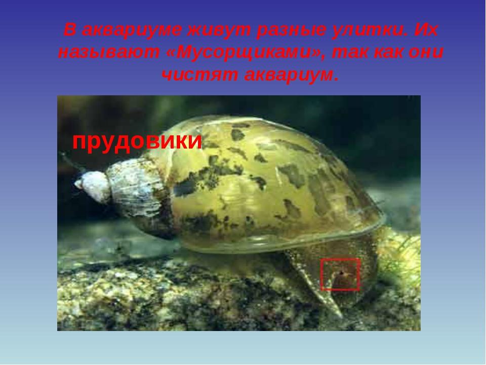 В аквариуме живут разные улитки. Их называют «Мусорщиками», так как они чистя...