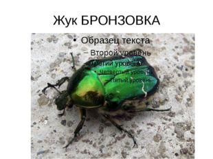 Жук БРОНЗОВКА