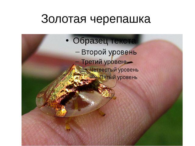Золотая черепашка