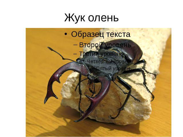 Жук олень