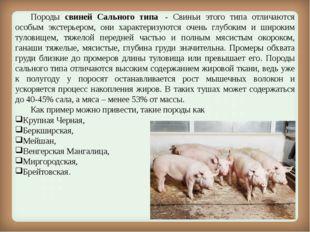 Породы свиней Сального типа - Свиньи этого типа отличаются особым экстерье