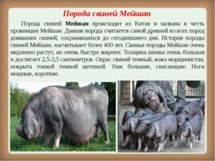 Порода свинейМейшан Порода свиней Мейшан происходит из Китая и названа в ч