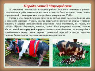 Порода свинейМиргородская В результате длительной плановой работы большого