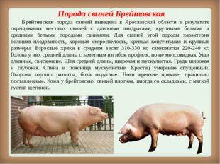Порода свинейБрейтовская Брейтовская порода свиней выведена в Ярославской