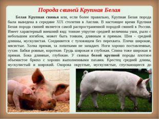 Порода свинейКрупная Белая Белая Крупная свинья или, если более правильно,