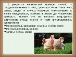 В результате многовековой селекции свиней, на сегодняшний момент в мире, су