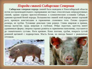 ПородасвинейСибирская Северная Сибирская северная порода свиней была выве