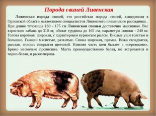 Порода свинейЛивенская Ливенская порода свиней, это российская порода свин