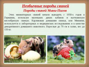 Необычныепороды свиней Породы свинейМини-Пигов Этих миниатюрных свиней на