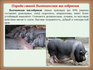 Порода свинейВьетнамская вислобрюхая Вьетнамская вислобрюхая свинья травоя