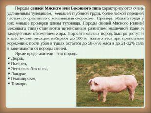 Породы свиней Мясного или Беконного типахарактеризуются очень удлиненным т
