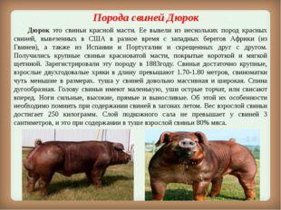 Порода свиней Дюрок Дюрок это свиньи красной масти. Ее вывели из нескольких