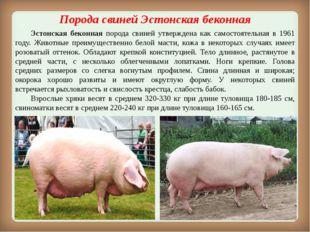 Порода свинейЭстонская беконная Эстонская беконная порода свиней утвержден