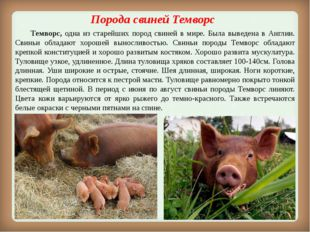 Порода свинейТемворс Темворс, одна из старейших пород свиней в мире. Была