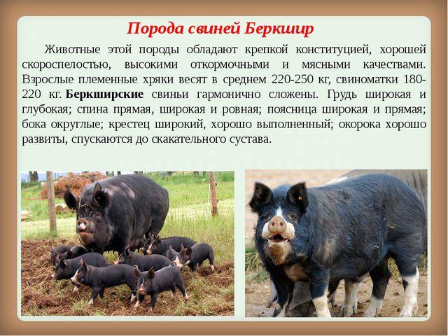 Порода свиней Беркшир Животные этой породы обладают крепкой конституцией, х...
