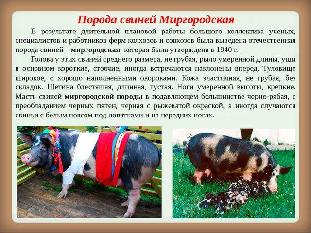Порода свинейМиргородская В результате длительной плановой работы большого...