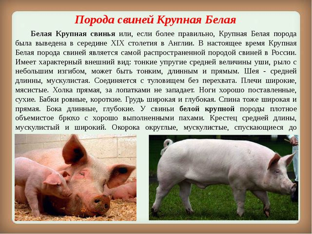 Порода свинейКрупная Белая Белая Крупная свинья или, если более правильно,...