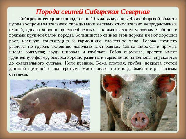 ПородасвинейСибирская Северная Сибирская северная порода свиней была выве...