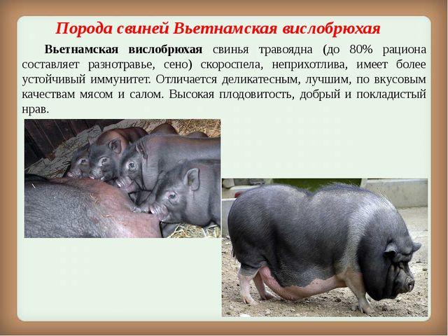 Порода свинейВьетнамская вислобрюхая Вьетнамская вислобрюхая свинья травоя...