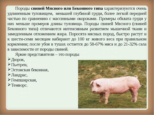 Породы свиней Мясного или Беконного типахарактеризуются очень удлиненным т...