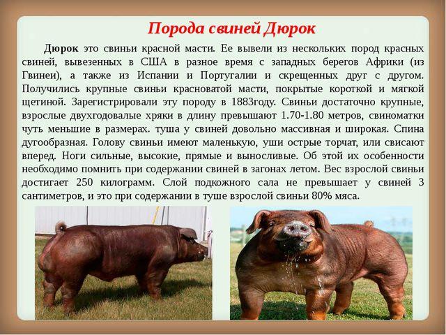 Порода свиней Дюрок Дюрок это свиньи красной масти. Ее вывели из нескольких...