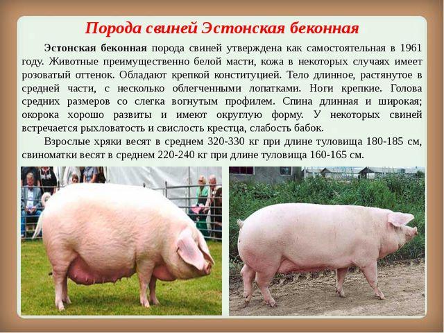 Порода свинейЭстонская беконная Эстонская беконная порода свиней утвержден...