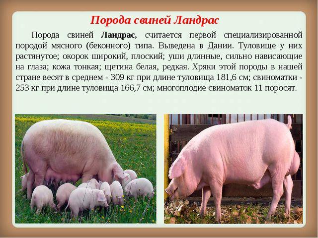 Порода свиней Ландрас Порода свиней Ландрас, считается первой специализиров...