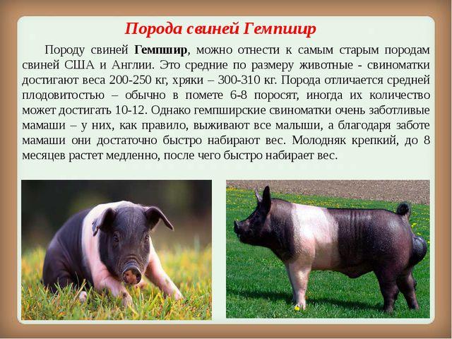 Порода свинейГемпшир Породу свиней Гемпшир, можно отнести к самым старым п...