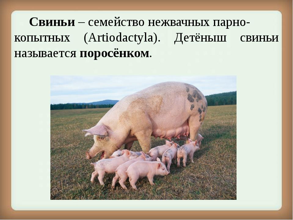 Свиньи – семействонежвачныхпарно- копытных (Artiodactyla). Детёныш свиньи...