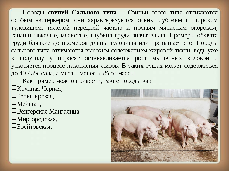 Породы свиней Сального типа - Свиньи этого типа отличаются особым экстерье...