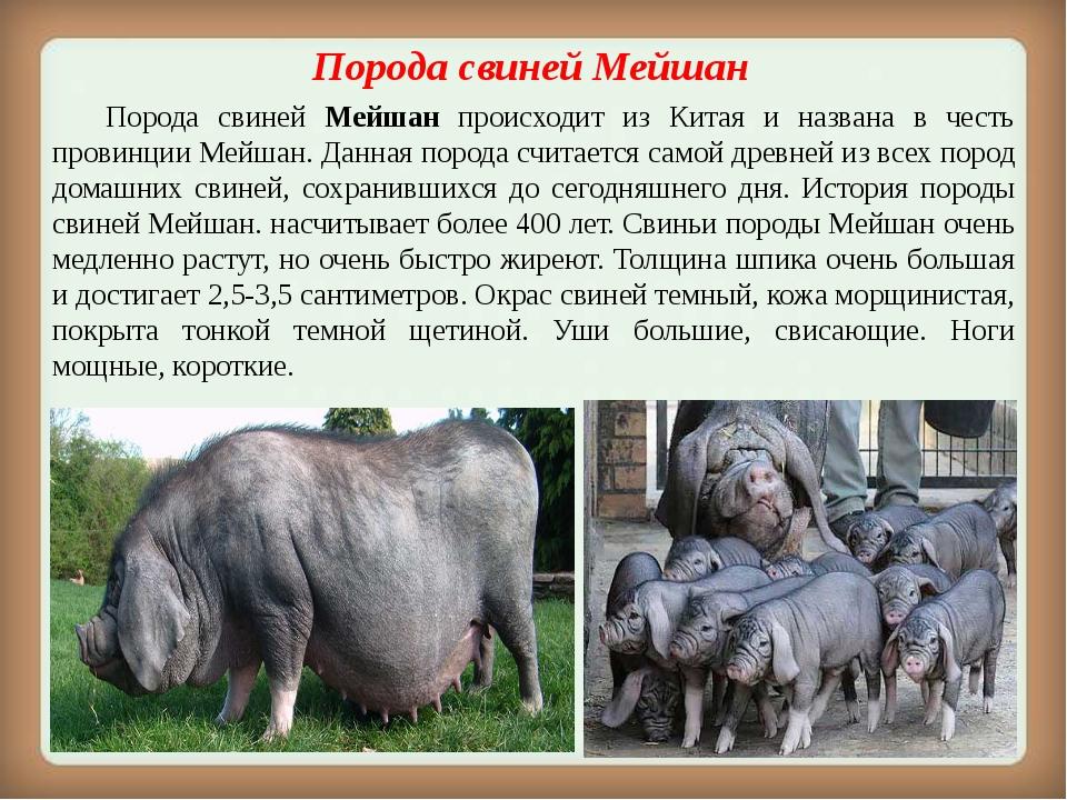 Порода свинейМейшан Порода свиней Мейшан происходит из Китая и названа в ч...