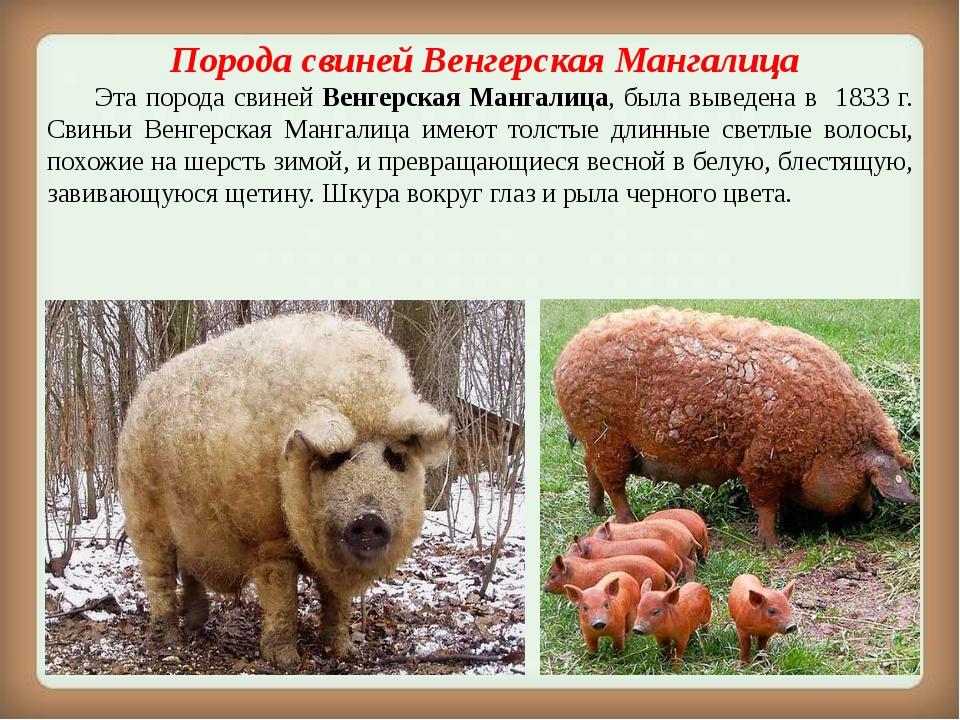 Порода свиней Венгерская Мангалица Эта порода свиней Венгерская Мангалица,...