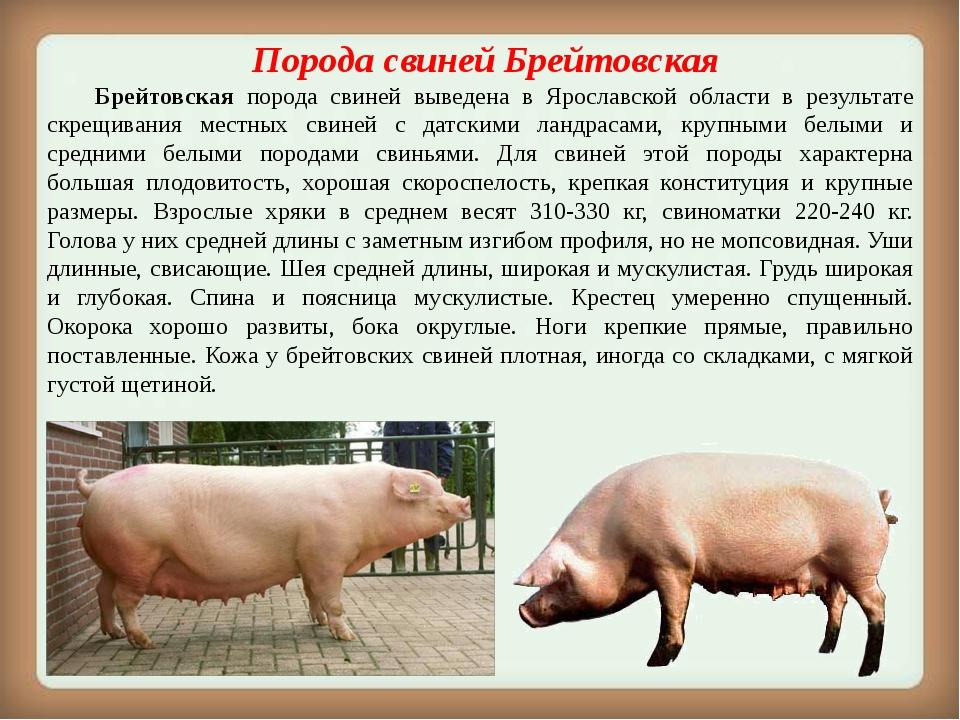 Порода свинейБрейтовская Брейтовская порода свиней выведена в Ярославской...