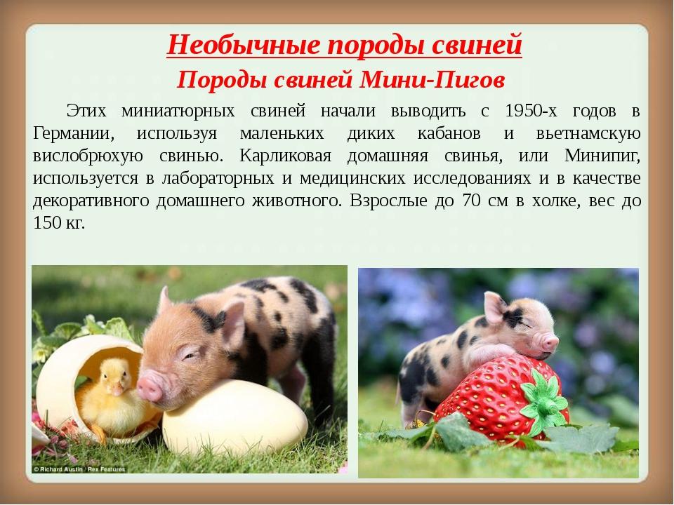 Необычныепороды свиней Породы свинейМини-Пигов Этих миниатюрных свиней на...