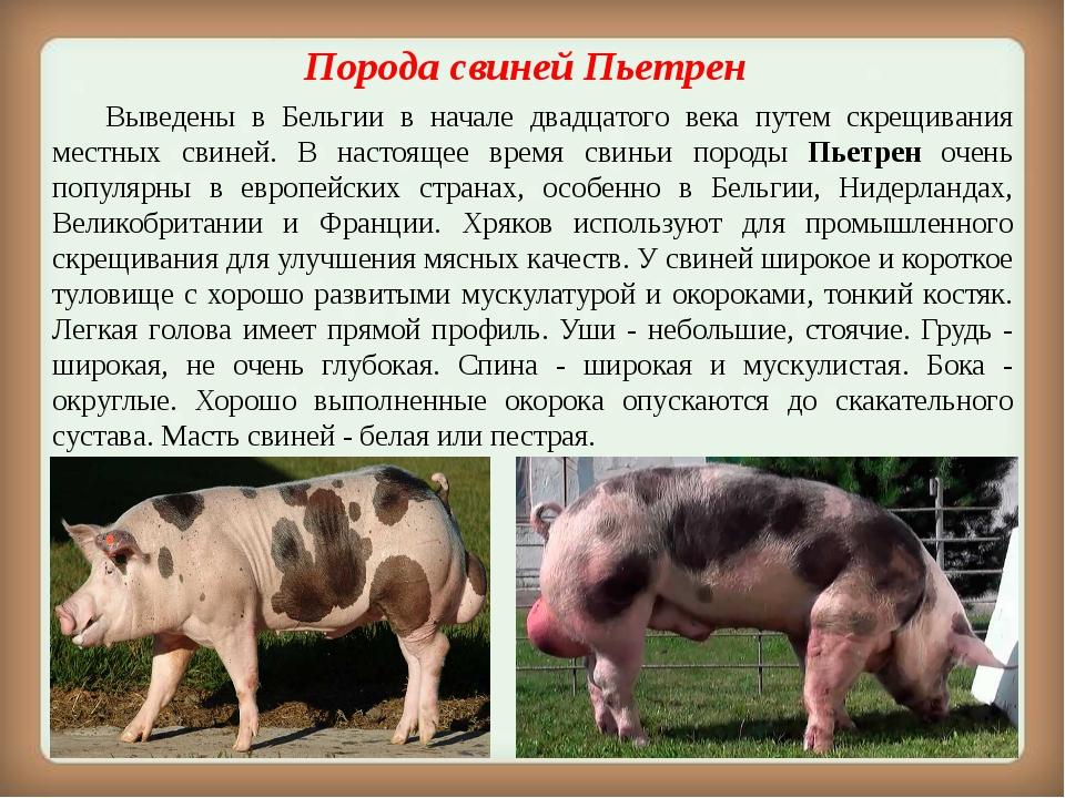 Порода свинейПьетрен Выведены в Бельгии в начале двадцатого века путем ск...