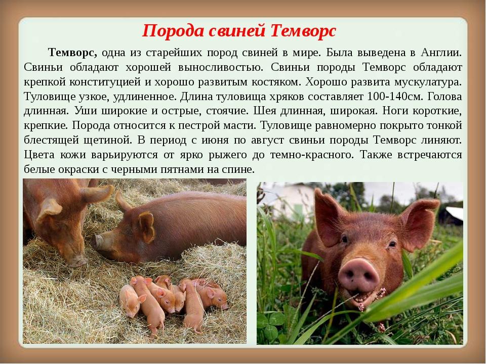 Порода свинейТемворс Темворс, одна из старейших пород свиней в мире. Была...