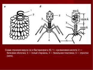 Схема строения вируса (а) и бактериофага (б); 1— нуклеиновая кислота; 2 — бе