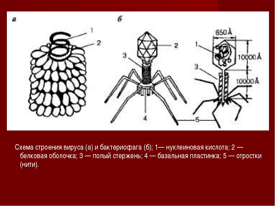 Схема строения вируса (а) и бактериофага (б); 1— нуклеиновая кислота; 2 — бе...