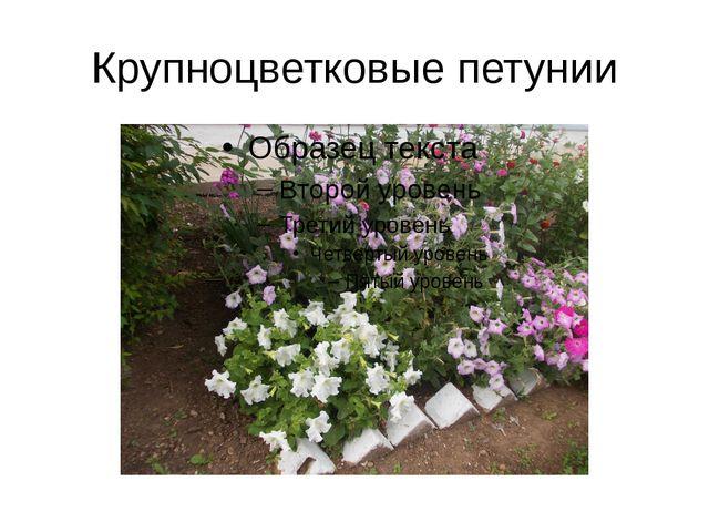 Крупноцветковые петунии
