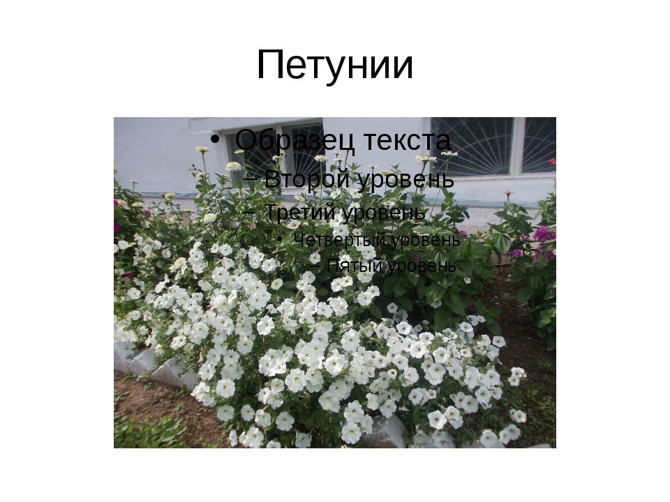 Петунии