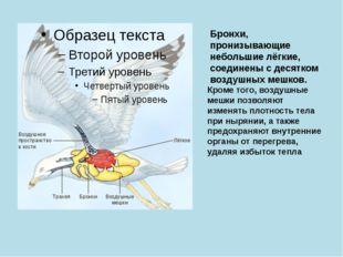 Бронхи, пронизывающие небольшие лёгкие, соединены с десятком воздушных мешков