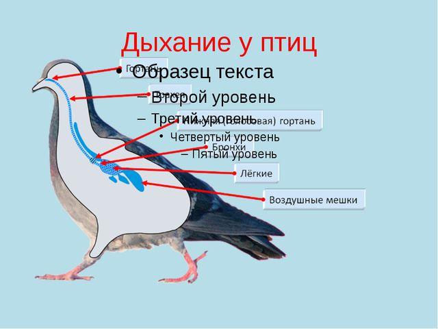 Дыхание у птиц