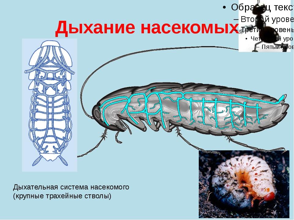 Дыхание насекомых Дыхательная система насекомого (крупные трахейные стволы)