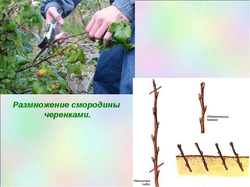 """Презентация по окружающему миру """"Размножение растений своими частями."""