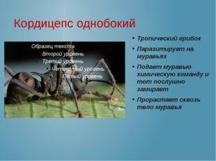 Кордицепс однобокий Тропический грибок Паразитирует на муравьях Подает муравь