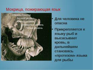Мокрица, пожирающая язык Для человека не опасна Прикрепляется к языку рыб и в