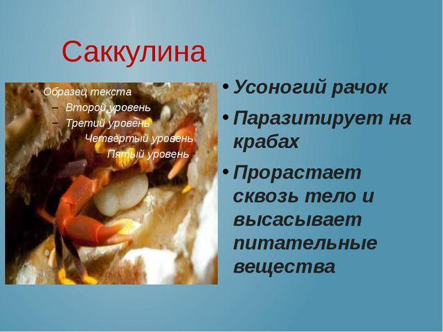 Саккулина Усоногий рачок Паразитирует на крабах Прорастает сквозь тело и выс...